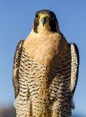 Peregrine Falcon in Autumn Setting — Stock Photo
