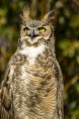 Great Horned Owl in Autumn Setting — Stockfoto