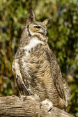 Great Horned Owl in Autumn Setting — Stock Photo
