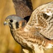 American Kestrel Falcon in Autumn Setting — Stock Photo #56565149