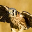 American Kestrel Falcon in Autumn Setting — Stock Photo #56565443