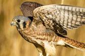 American Kestrel Falcon in Autumn Setting — Stock Photo
