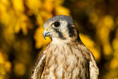 American Kestrel Falcon in Autumn Setting — Stock Photo