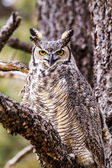 Great Horned Owl in Winter Setting — Stock Photo