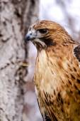 Red Tail Hawk in Winter Setting — Stock Photo