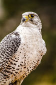 Silver Gerfalcon in WInter Setting — Stock Photo