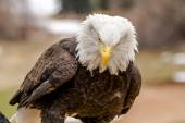 American Bald Eagle in Winter Setting — Stock Photo