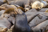 Pacific Northwest Sea Lions and Seals — Стоковое фото
