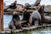 Pacific Northwest Sea Lions and Seals — Stock Photo