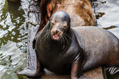Pacific Northwest Sea Lions and Seals — Stockfoto