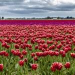Skagit Valley Oregon Tulip Fields — Stock Photo #70944733