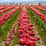 Skagit Valley Oregon Tulip Fields — Stock Photo #70944807