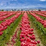 Skagit Valley Oregon Tulip Fields — Stock Photo #70944815