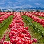 Skagit Valley Oregon Tulip Fields — Stock Photo #70944851
