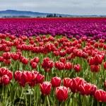 Skagit Valley Oregon Tulip Fields — Stock Photo #70944897