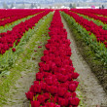 Skagit Valley Oregon Tulip Fields — Stock Photo #70944907