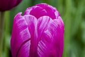 Skagit Valley Oregon tulpenvelden — Stockfoto
