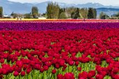 Skagit Valley Oregon Tulip Fields — Stock Photo