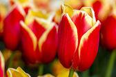 Skagit Valley Oregon Tulip Fields — Stock Photo