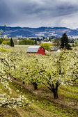 Red Barn in Oregon Pear Orchards — Stockfoto