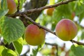 Ripe Apricots in Orchard — Stock Photo