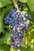 Kleurrijke wijndruivenrassen op Grapevine — Stockfoto