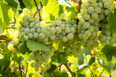 Colorful Wine Grapes on Grapevine — Stock Photo