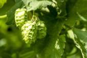 酿造啤酒的有机啤酒花农场 — 图库照片