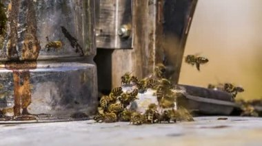 Honey bees at the entrance to the hive. — Stock Video