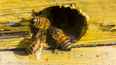 Bees extruding alien out of the hive — Stock Video