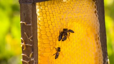 Bees eating honey on honeycomb — Stock Video