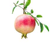 Pomegranates on tree isolated on white background. — Stock Photo