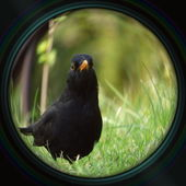 Blackbird in objective lens — Stock Photo