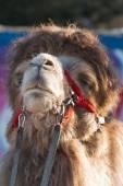 Camel — Stock Photo