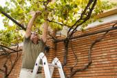 Senior man cutting grapes from a vine. — Stock Photo