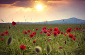 Field of bright red corn poppy flowers in summer — Stock Photo
