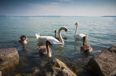 Mother with four baby swans - cygnets — Stock Photo