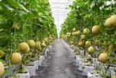 Yellow melon on field in greenhouse. — Stockfoto