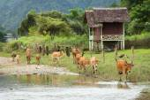 Cow and Naw Song river in Vang Vieng, Laos. — Stock Photo