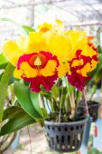 Close up orchid flower in pot plant — Stock Photo