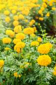 Close up Yellow Marigold Flower In Garden. — Stock Photo
