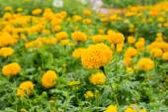 Close up Yellow Marigold Flower In Garden. — Stock fotografie
