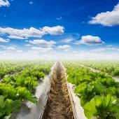 Field of lettuce and a blue sky on field agriculture — Stock Photo