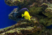 Tropical fishes swim near coral reef. Selective focus — Foto Stock