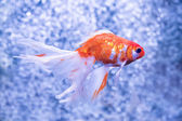 Goldfish on a background of air bubbles — Foto Stock