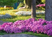 Flower beds with colorful chrysanthemums. Parkland in Kiev, Ukraine. — Stock Photo