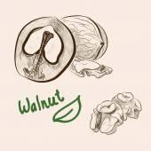 Walnut. set of vector sketches — Stock Vector