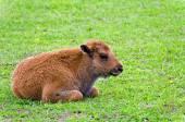 Little Bison — Zdjęcie stockowe