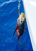 Dead tuna while making a cruise with a sailboat. — Stockfoto