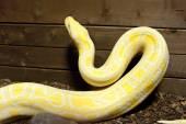 Burmese python — Stock Photo